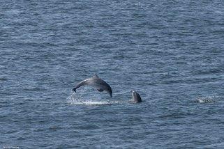 Dolfijnen, Fort George, Schotland