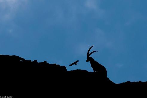 Steenbok, Gran Paradiso Italië
