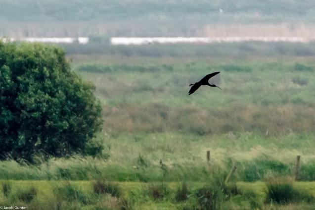 Onnerpolder, Zwarte Ibis